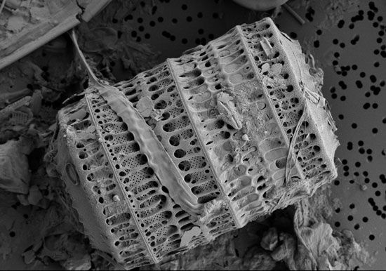 Diatom under Electron Scanning Microscope
