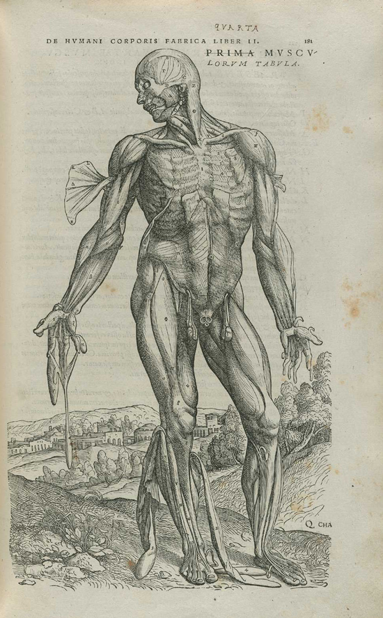 Vesalius anatomical drawing
